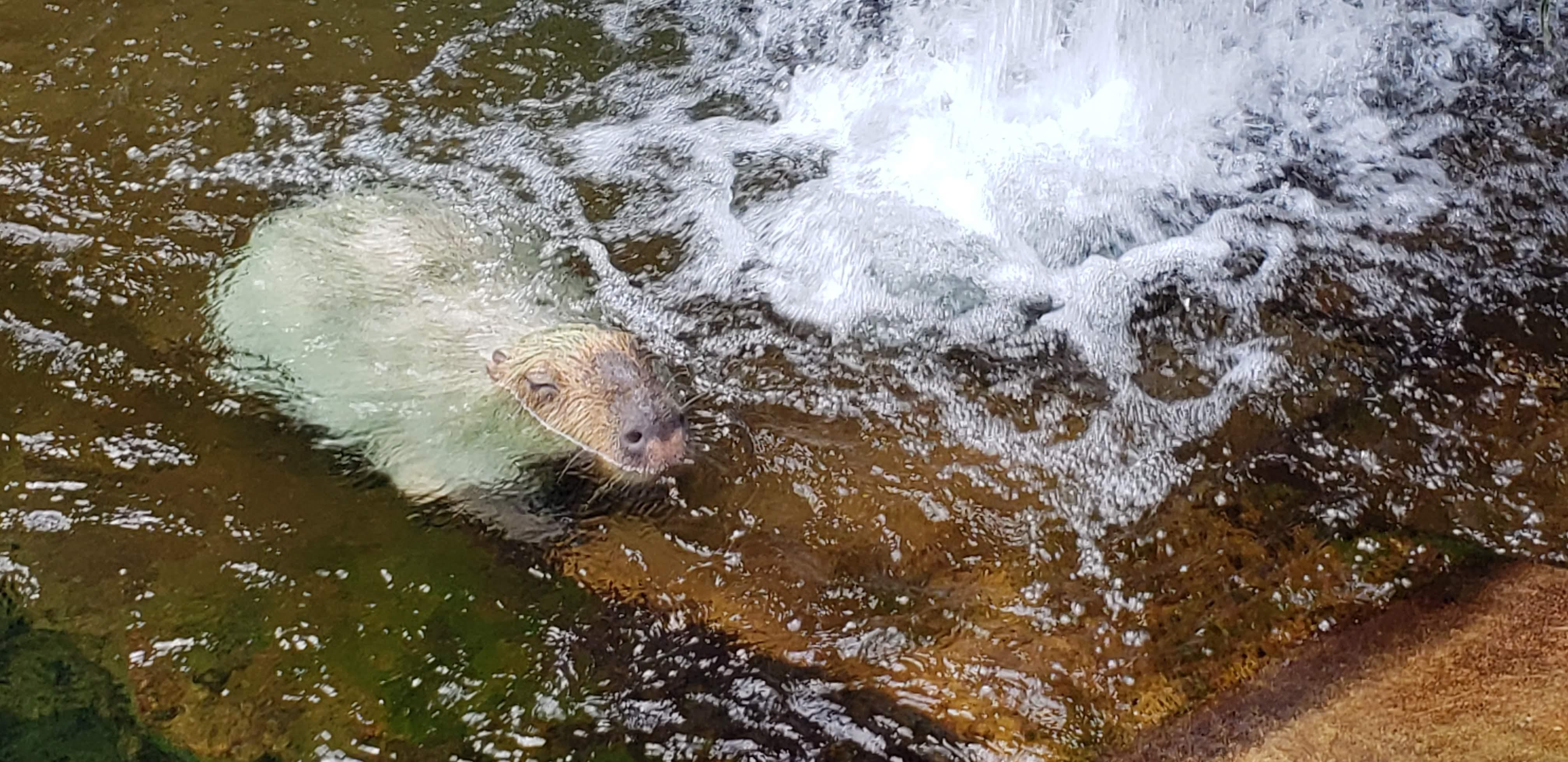 カピバラは、夏が一番かわいいことが判明 @なかがわ水遊園