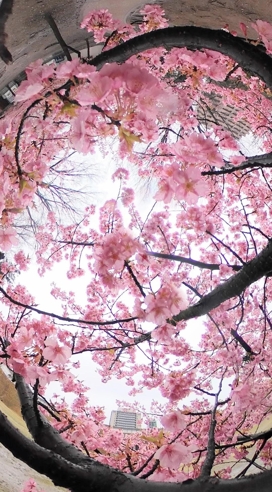 宇都宮城址公園「さくら祭り」中止、それでもサクラは元気に咲いていた